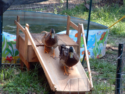 Mystery solved where can i buy a duck ramp buy rent for Homemade biofilter for duck pond