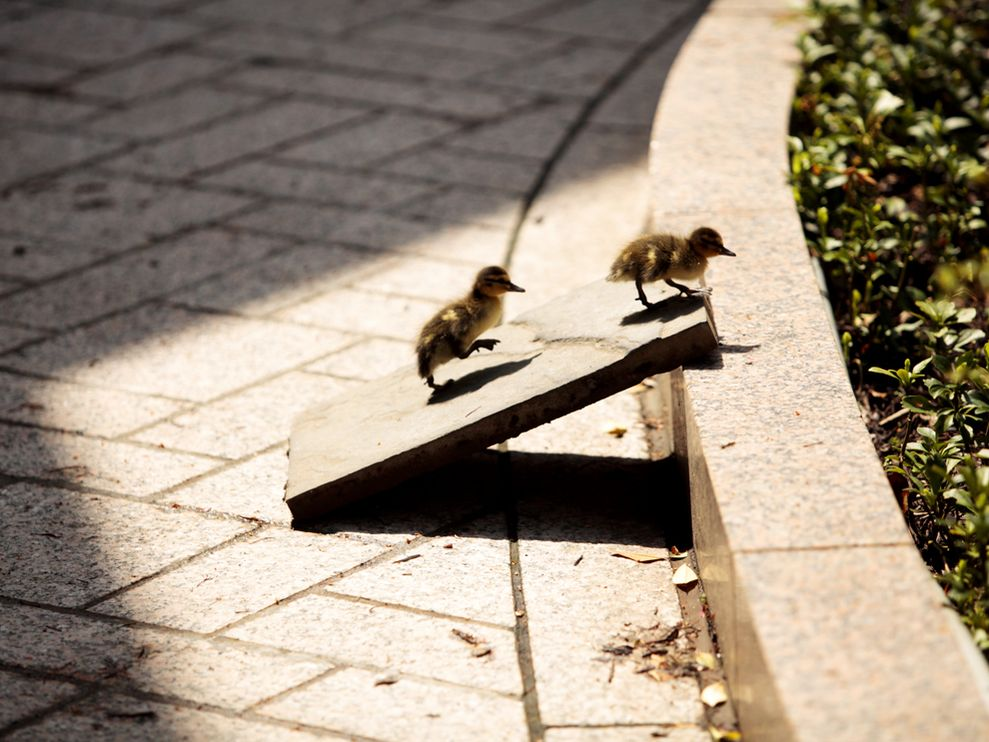 Urban Duck Ramp
